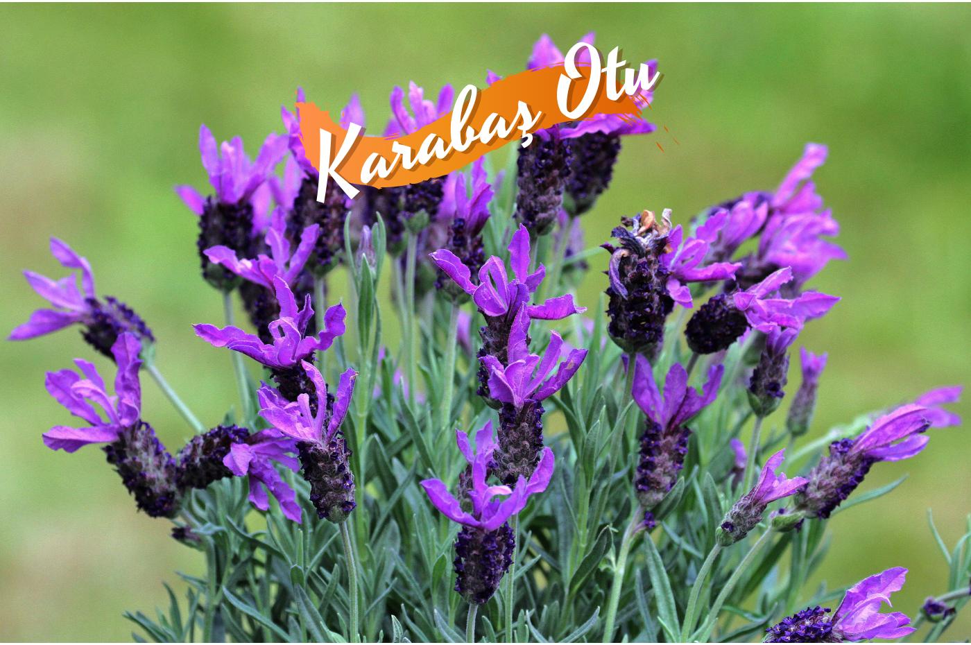 Karabaş otu nedir? karabaş otunun faydaları nelerdir? Karabaş otu kürü, Karabaş çayı nasıl demlenir? geleneksel tıpta yüzyıllardır kullanılan bir bitkidir.