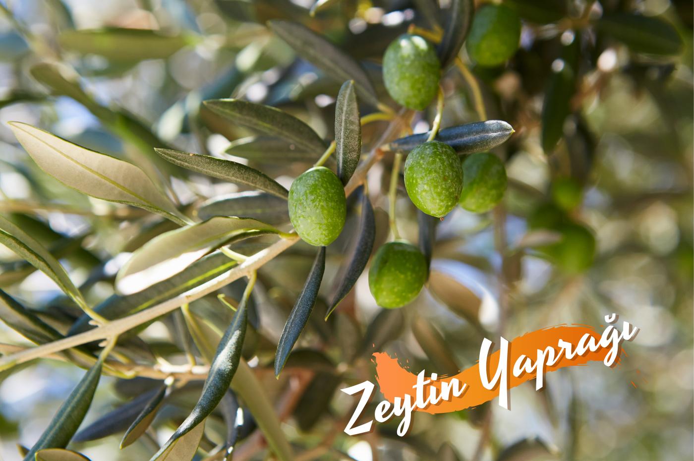 Zeytin yaprağının faydaları. Zeytin yaprağı çayı zayıflatır mı? Zeytin yaprağı nasıl kullanılır? Zeytin yaprağı hangi hastalıklara iyi gelir?