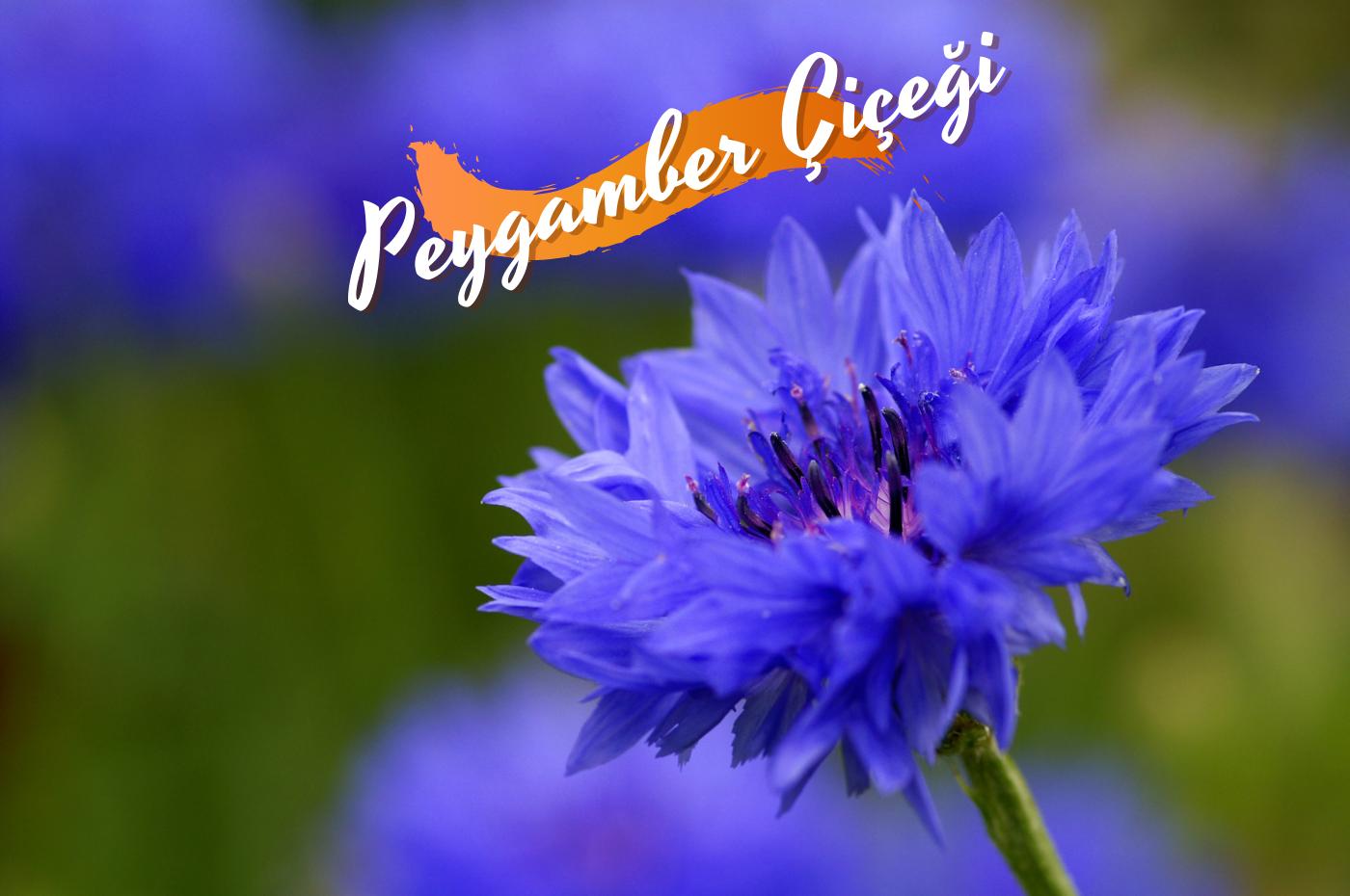 Peygamber çiçeği nedir? Peygamber çiçeğinin faydaları
